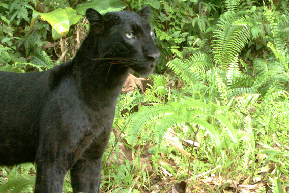 A black panther (in this case a leopard) caught on camera trap in the Kenyir Wildlife Corridor. Photo courtesy of Rimba.