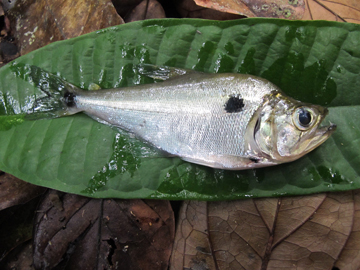 A fish (Charax pauciradiatus) from Limonade River. Photo by: Sébastien Brosse.