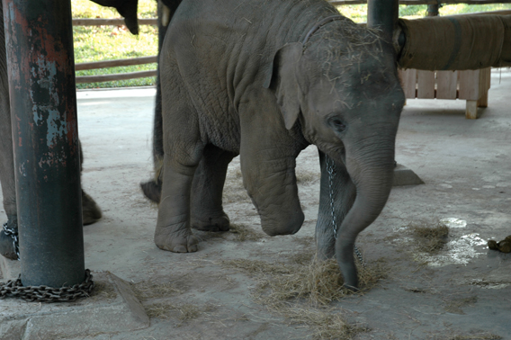 Baby elephant who lost apart of her leg to a landmine. Image courtesy of Donald Tayloe.