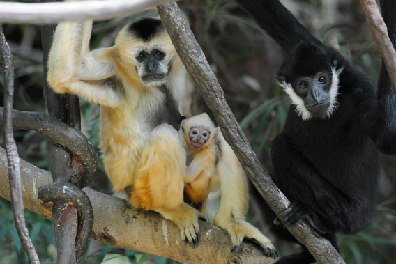 The northern white-cheeked gibbon family at the Bronx Zoo. Photo by: Julie Larsen Maher.