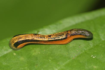 Terrestrial leech in Borneo. Photo by: Rhett A. Butler.