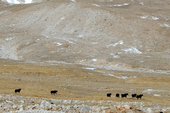 Wild yaks cross the Tibetan Plateau near the edge of a glacier. A scientific team recently counted more than a thousand wild yaks in this region signaling a possible comeback for this species once decimated by over-hunting. Photo by: Joel Berger, WCS/University of Montana.