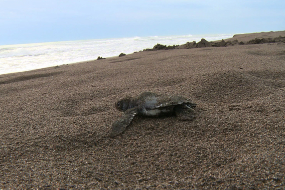 Baby green sea turtle heads toward the ocean. Image courtesy of Two Head Productions.