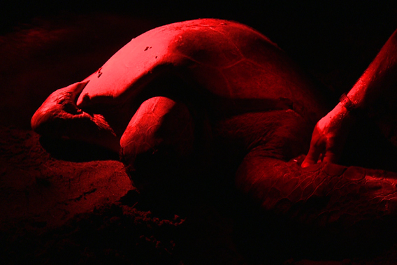 Scientists accumulate data on this green turtle at night as she lays her eggs. Photo courtesy of Two Head Productions.