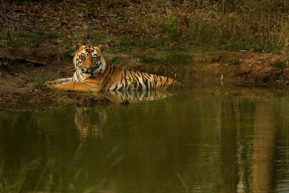 Bengal tiger in Kanha Tiger Reserve. Photo by: Kalyan Varma.