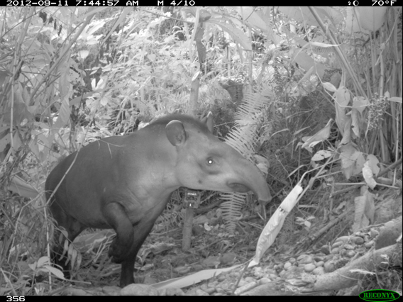 Camera trap image of tapir in Madidi-Tambopata Landscape. Photo by: WCS.