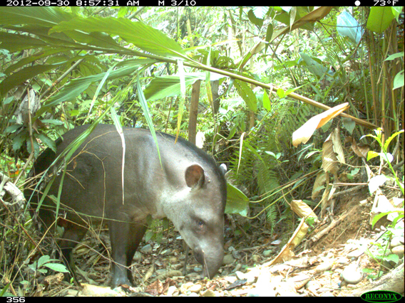 Camera trap image of tapirs in Madidi-Tambopata Landscape. Photo by: WCS.