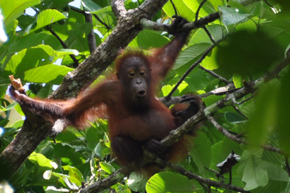 Juvenile orangutan in the Kulamba Wildlife Reserve, which, along with adjacent forests, supports an estimated 480 orangutans. Photo by: HUTAN/Dzulirwan bin Takasi @ Jolirwan.