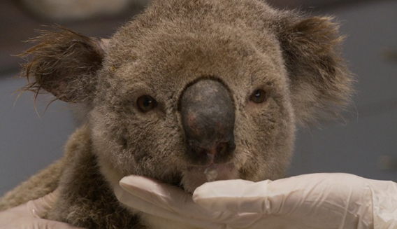 Koala suffering from cancer. Image courtesy of Susan Kelly.