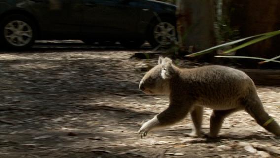 Koala walking past car. Image courtesy of Susan Kelly.