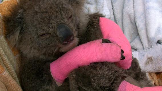 Burnt koala. Image courtesy of Susan Kelly.