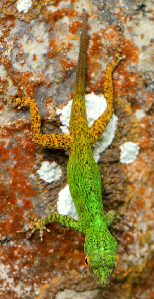 Unidentified anole lizard in Los Haitises National Park. Photo by: Jeremy Hance.