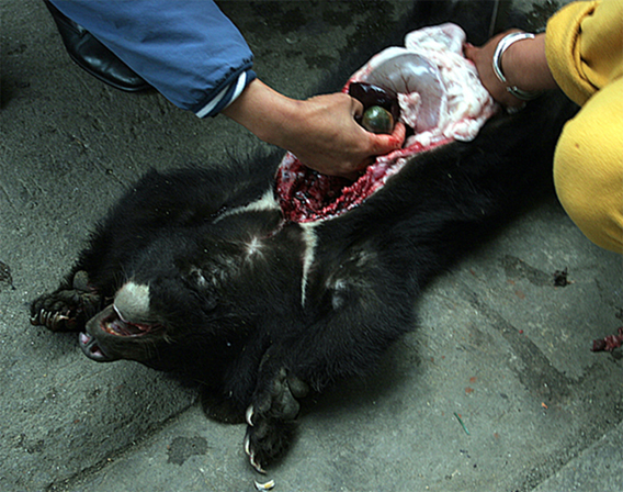 An Asian black bear just killed in a market in northern Myanmar for its gallbladder. Photo: Chris R. Shepherd/TRAFFIC Southeast Asia.