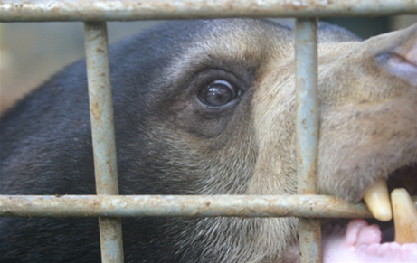 Sun bear in a cage in Indonesia. Photo by: Chris R. Shepherd/TRAFFIC Southeast Asia.