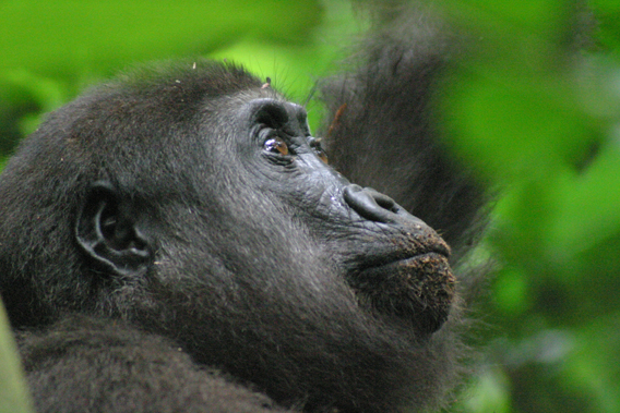 The newly created Ntokou-Pikounda National Park spans some 4,572 square kilometers (1,765 square miles) and will safeguard western lowland gorillas as well as elephants and chimpanzees. Photo credit: Thomas Breuer/Wildlife Conservation Society-Max Planck Institute for Evolutionary Anthropology.