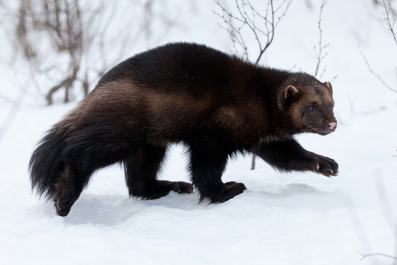 U.S. Proposes to List Wolverine under Endangered Species Act