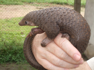 Tree pangolin in the Democratic Republic of the Congo (DRC). Photo by: Valerius Tygart.