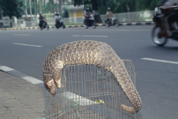 Pangolin for sale. Photo courtesy of TRAFFIC.