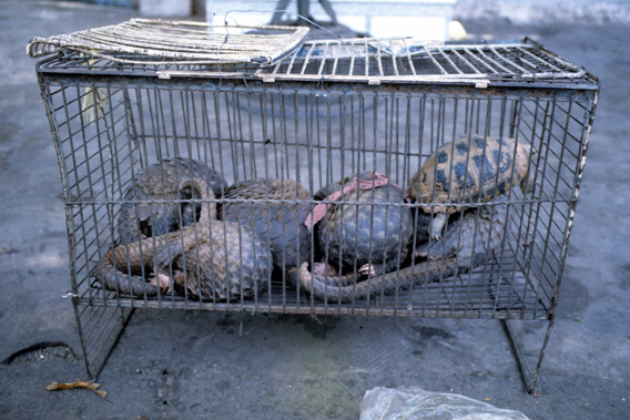 Pangolins held in a cage at a market. Photo courtesy of: TRAFFIC.