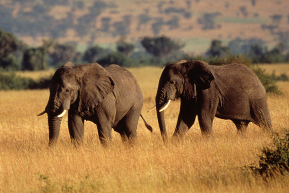Two African elephants (Loxodonta africana). African elephants are colossal ecosystem engineers. Photo by: © Howard Buffett / WWF-US.