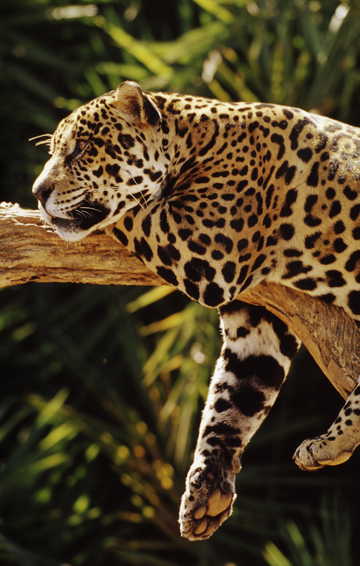 Jaguar in Brazil. Photo by: © Michel Gunther / WWF-Canon.