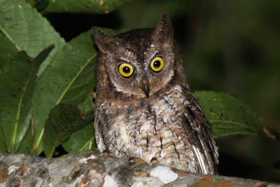 A new species of owl: Rinjani scops owl. Photo by: Philippe Verbelen.