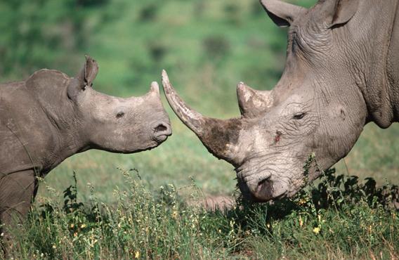 Southern white rhinoceros (Ceratotherium simum simum). Photo by: © Martin Harvey / WWF-Canon.