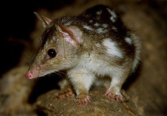 The northern quoll, a medium-sized marsupial carnivore, was formerly common across northern Australia but is one of several species that have undergone substantial population declines in recent decades. Photo by: Ian Morris.