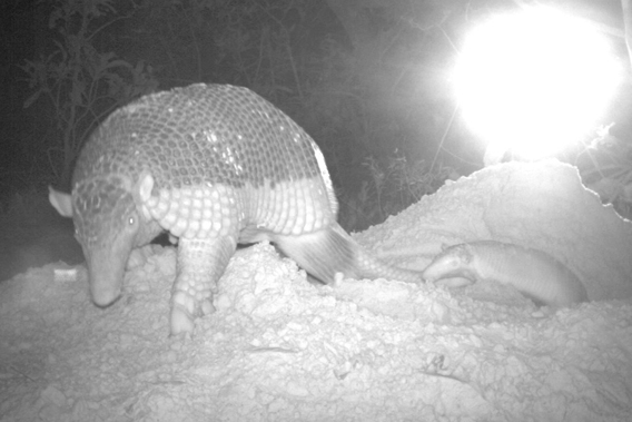 Mother giant armadillo with baby. Photo by: The Pantanal Giant Armadillo Project.