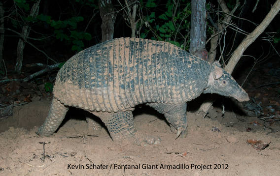 Close-up baby giant armadillo in Baia des Pedras. Photo by: The Pantanal Giant Armadillo Project.