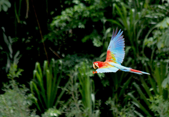 Macaw. Photo courtesy of Paul Rosolie.