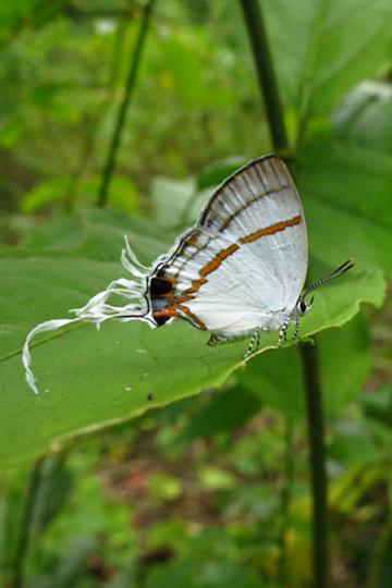 Unidentified butterfly. Photo by: Roger Peet.