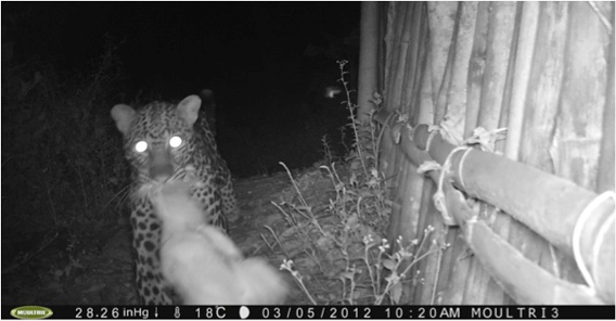 Leopard on camera trap. Photo by: TL2.