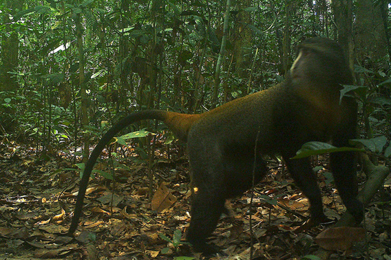 Lesula on camera trap. Photo by: TL2.