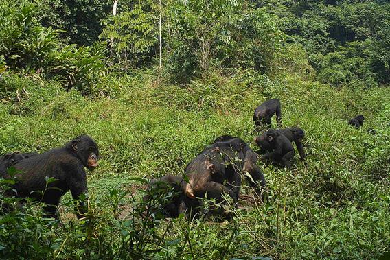 Bonobo in TL2 area. Photo by: TL2.