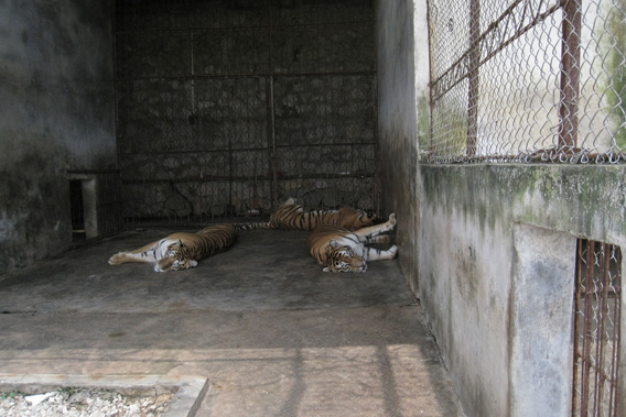 Captive tigers in the Xiongsen Bear Tiger Village. Photo by: EIA.