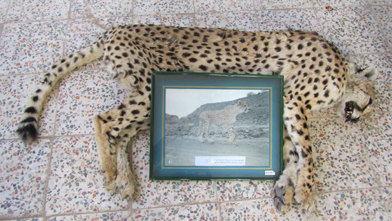 Jangal was the oldest ever known Asiatic cheetah in Iran. Jangal was first photographed with camera traps in 2001 (the picture between his legs) and was roaming for ten years until 2011 when he was found dead. Experts estimate that he lived at least 12 to 14 years in eastern country. Photo by: ICS/DoE/CACP/Panthera.