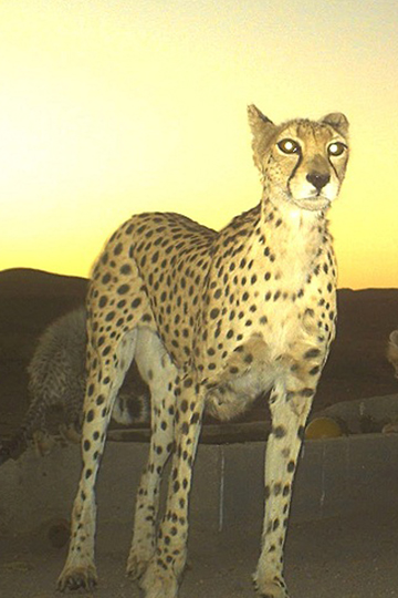 Mother Asiatic cheetah. Photo by: ICS/DoE/CACP/Panthera.
