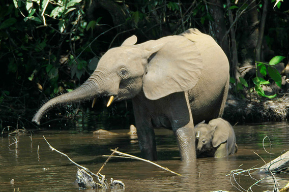Forest elephants in the Mbeli River, Nouabalé-Ndoki National Park, Congo. Photo by: Thomas Breuer.