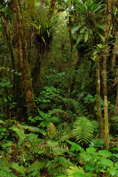 Each tree in the Samoan forest is covered in epiphytes, many of which are orchid species found only in Samoa. Photo by: Rebecca Stirnemann.