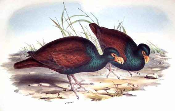 Illustration of the little dodo likely based on stuffed specimens. By: John Gould.