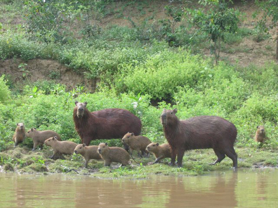 A family of capybaras (the world's largest rodent) in Bolivian wetlands. Photo by: Anouchka Unel.
