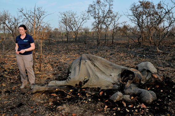 Celine Sissler-Bienvenu standing next to elephant corpse in Bouba Ndjida National Park. Photo courtesy of IFAW.
