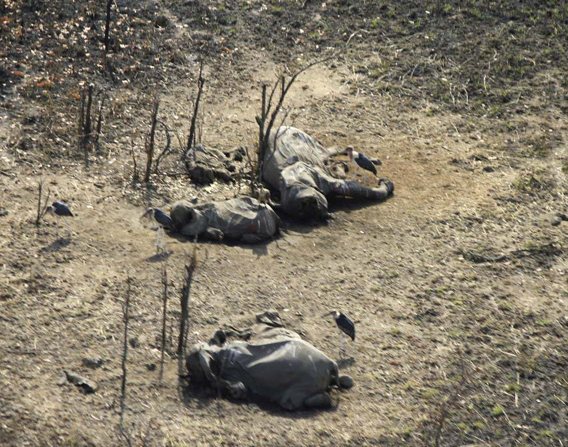 Aerial view of slaughtered elephant family. Photo courtesy of IFAW.