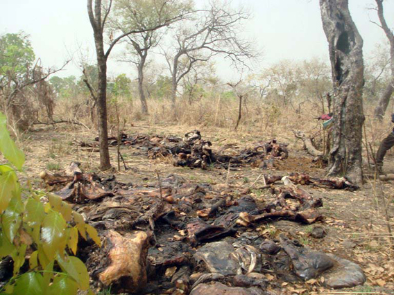Elephant corpses. Photo courtesy of IFAW.