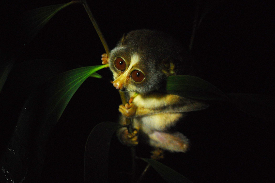 Slender loris. Photo by: Arun Kanagavel.