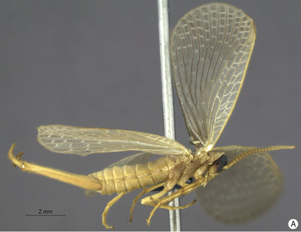 New species of forcepfly discovered in Brazil: Austromerope brasiliensis. Photo by: Machado et al.