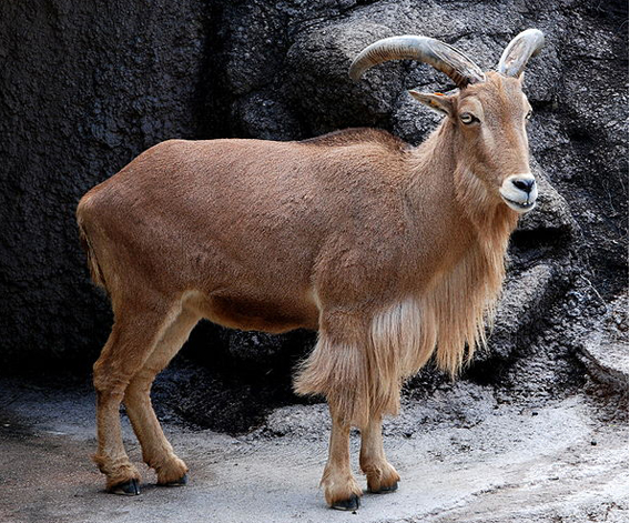 Barbary sheep in Tennoji Zoo. Photo by: Kuribo.