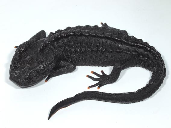 New species: Ziegler's crocodile newt (Tylototriton ziegleri). Photo courtesy of Tao Thien Nguyen.