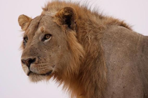 Male lion in Zambia. Photo by: Stuart Pimm.